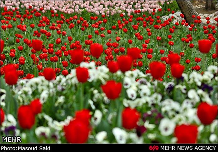 عکس گل های لاله رنگارنگ