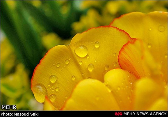 عکس لاله های زرد
