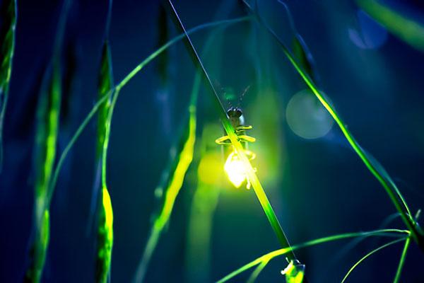عکس های زیبا از کرم شب تاب