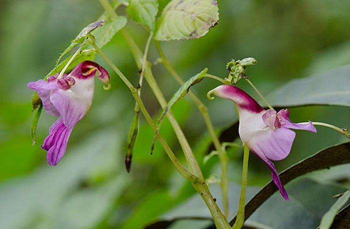 گل طوطی