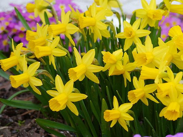 تصاویر گل نرگس زرد