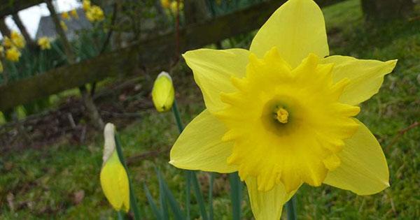 عکس از گل نرگس