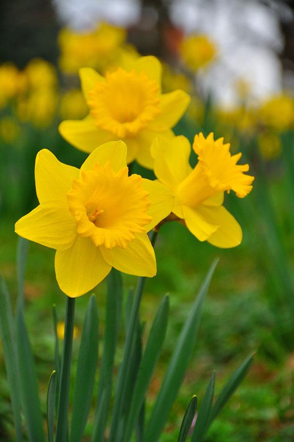 عکس گل نرگس با کیفیت بالای اچ دی
