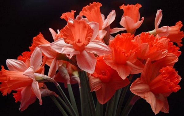 عکس گل نرگس برای پروفایل