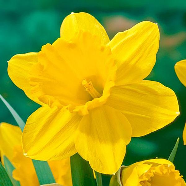 عکس گل نرگس زرد