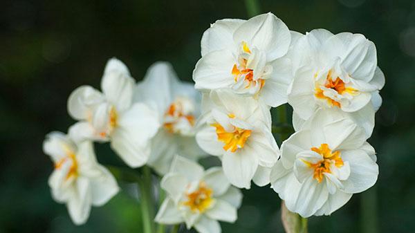 عکس گل نرگس زیبا برای پروفایل