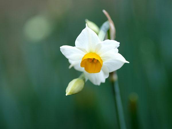 عکس گل نرگس سفید