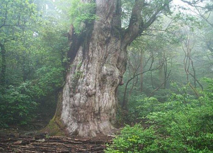درخت ژومون سوگی