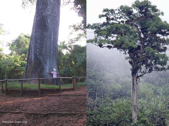درخت پدرسالار