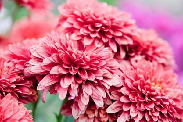 عکس انواع گل داوودی