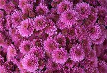 عکس گل داوودی برای پروفایل