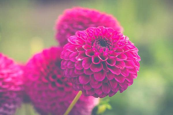 عکس گل داوودی بنفش