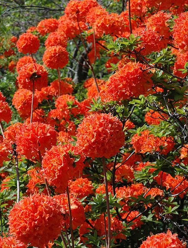 گل داوودی قرمز