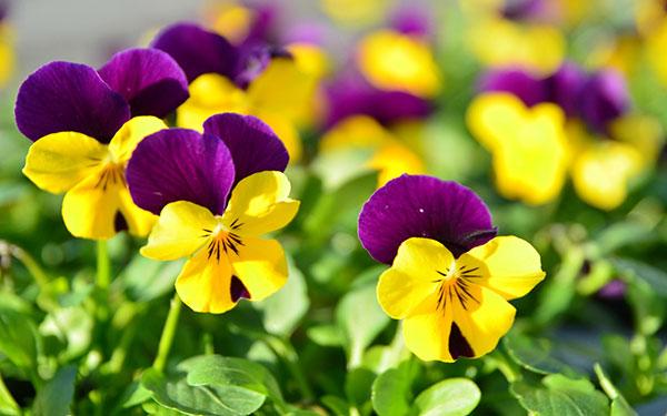والپیپر گل با کیفیت بالا