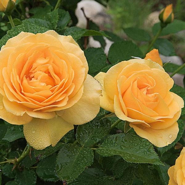 عکس گل رز زرد عاشقانه برای پروفایل