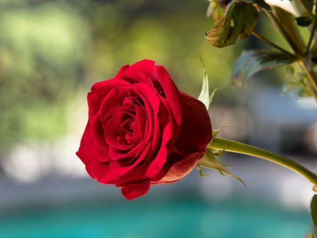 عکس گل رز قرمز عاشقانه