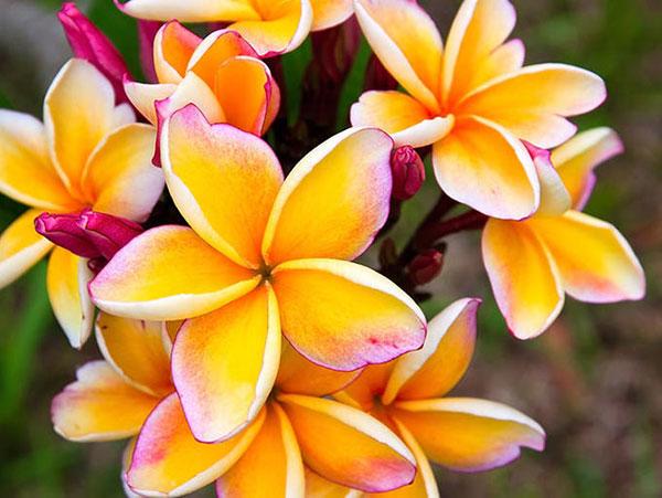 عکس گل زرد و صورتی
