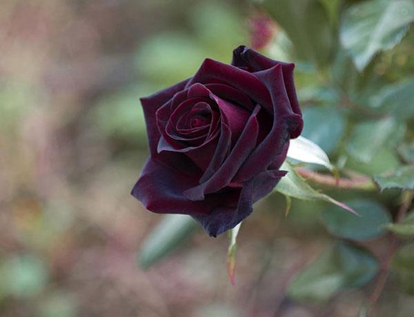 عکس گل رز قرمز مخملی