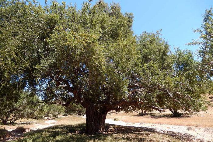 عکس درخت آرگان