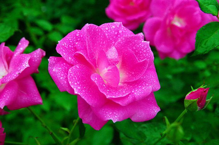 عکس پروفایل گل رز صورتی و خوشگل
