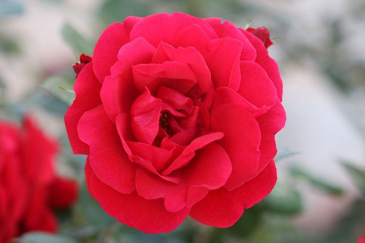 عکس گل رز قرمز برای پروفایل