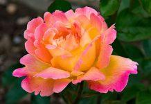 دانلود عکس گل رز زیبا و جذاب