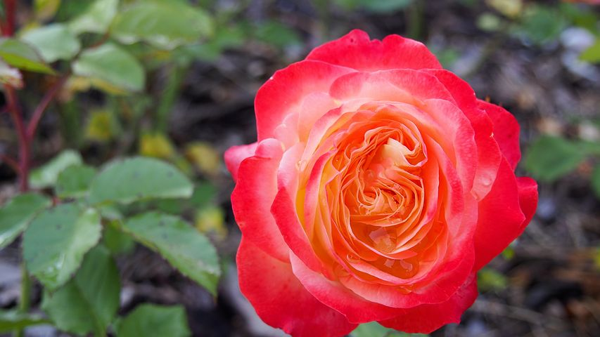 گالری عکس گل رز قرمز