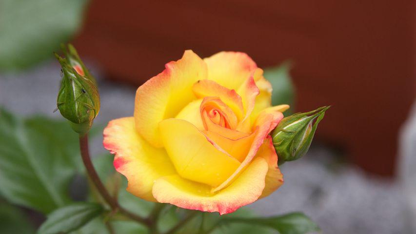 دانلود عکس گل رز زرد
