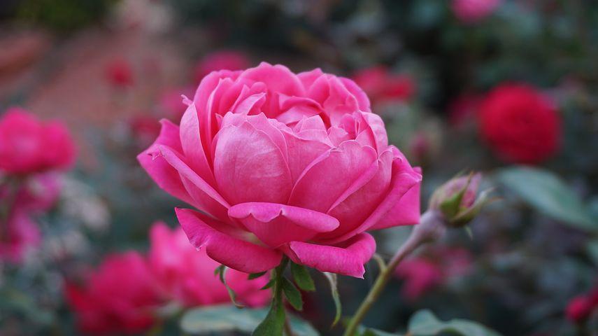 عکس گل رز صورتی قرمز در طبیعت