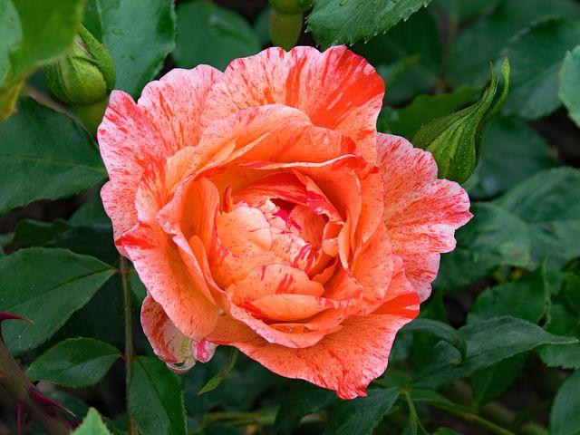 گالری تصاویر زیبا از گل رز
