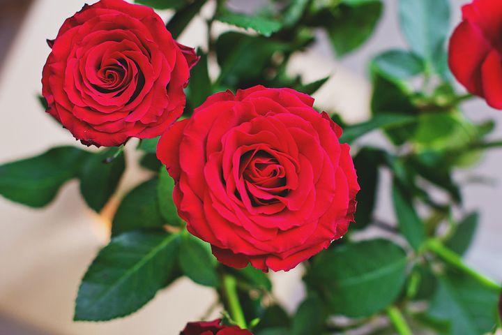 تصاویر گل رز سرخ