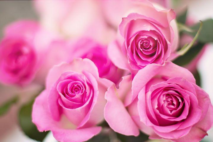 تصاویر گل رز صورتی قشنگ