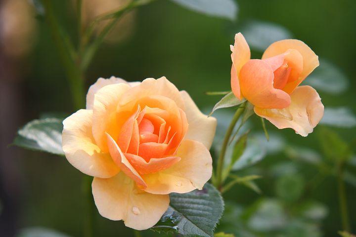 عکس گل رز زرد و نارنجی با کیفیت بالا