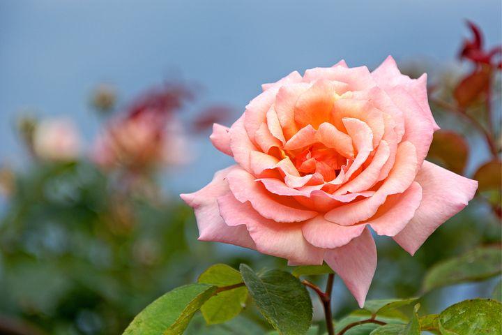 عکس گل رز صورتی قشنگ و جذاب