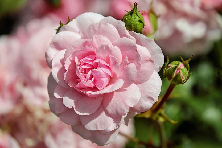 عکس گل رز سفید صورتی زیبا
