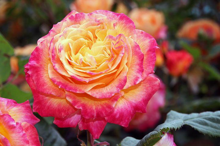 عکس گل رز زرد و قرمز قشنگ