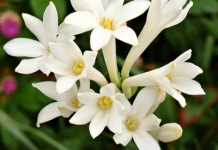 عکس گل مریم سفید برای پروفایل
