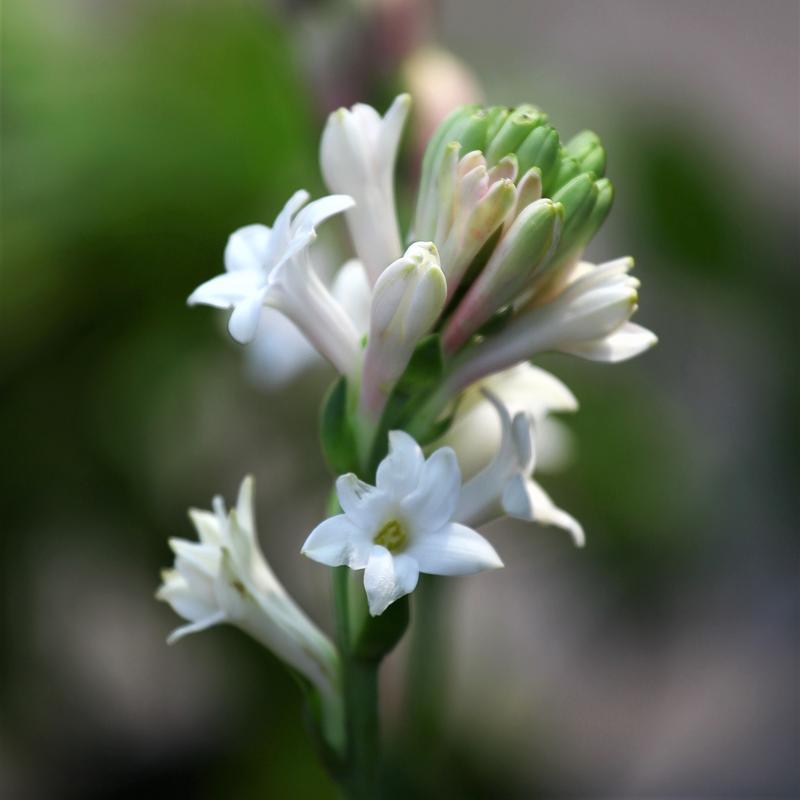 تصویر گل مریم با کیفیت بالا