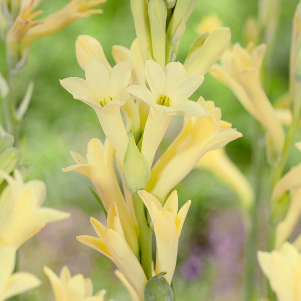 عکس گل مریم به رنگ زرد