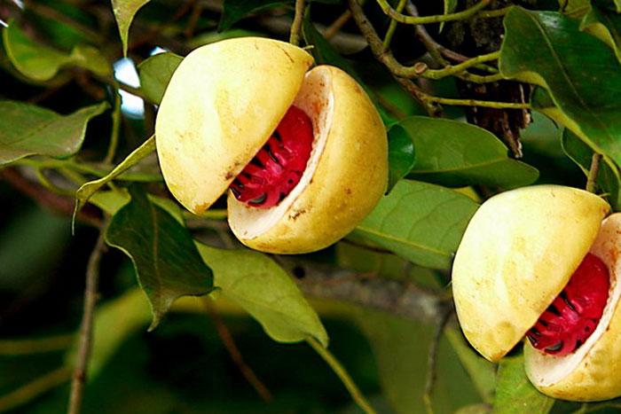 عکس درخت جوز هندی