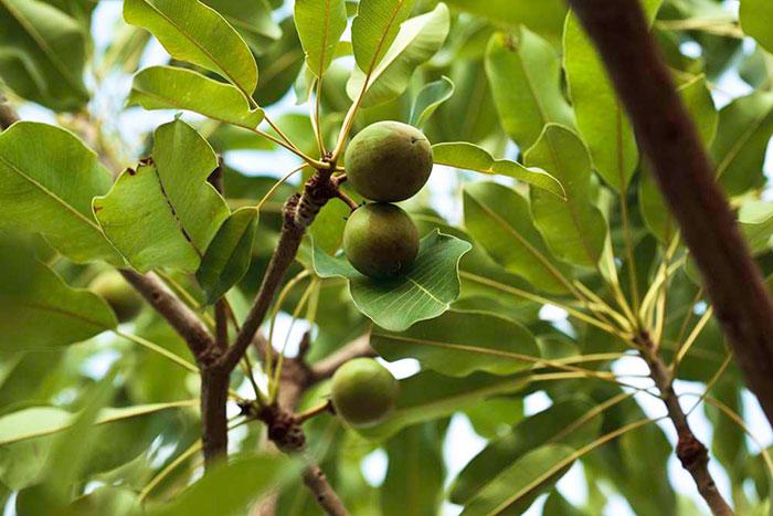 عکس درخت شیا