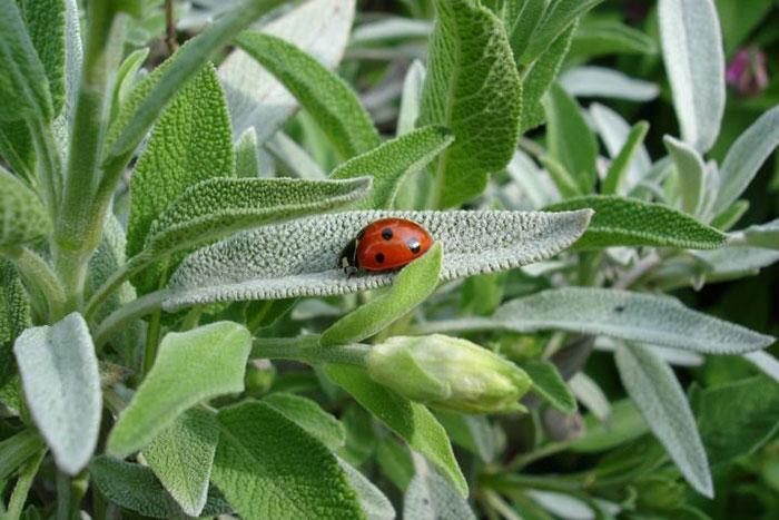 عکس گیاه مریم گلی