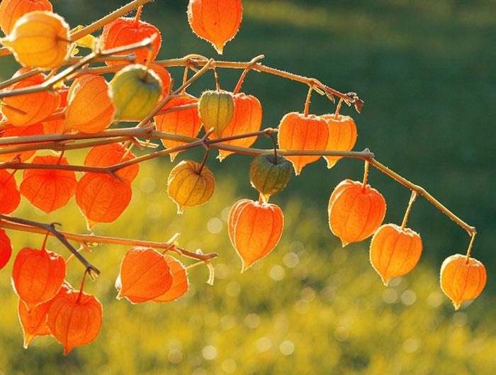 میوه فیسالیس چه خاصیتی دارد؟