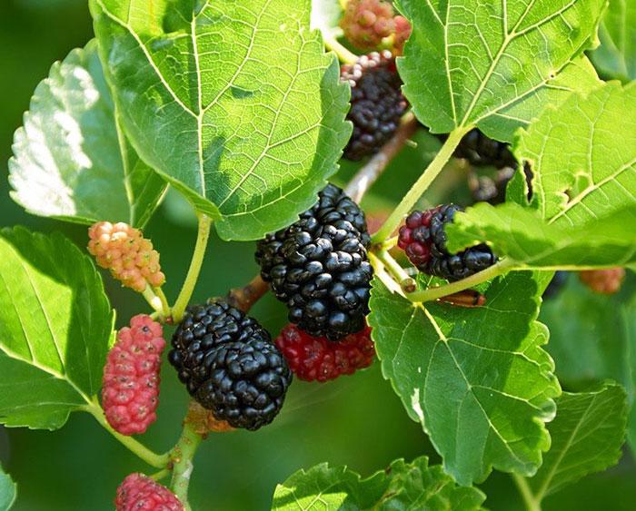 عکس درخت توت سیاه