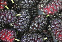 خواص و مضرات توت سیاه