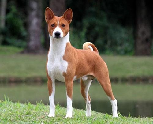 سگ باسنجی