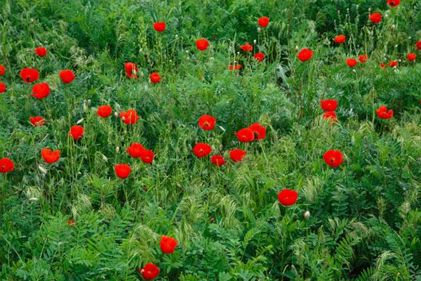 تصاویری از گل شقایق