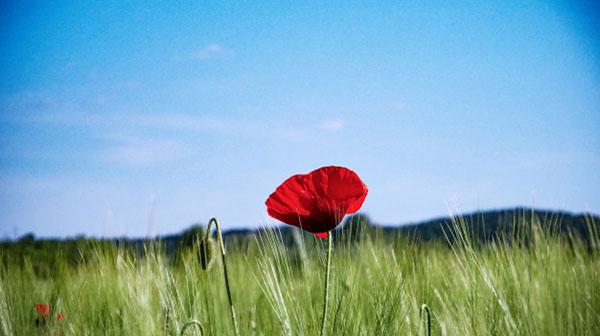 تصویر گل شقایق