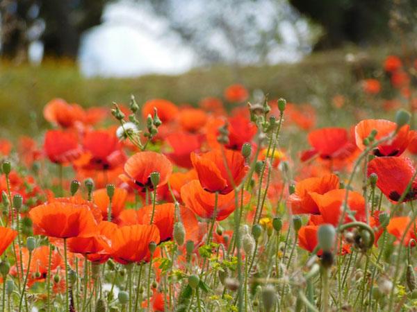 عکس از گل شقایق وحشی