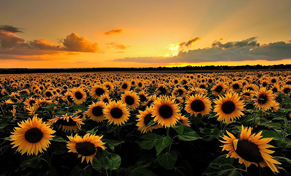 عکس مزرعه گل آفتابگردان